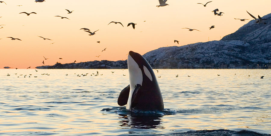 Image result for orca in the wild