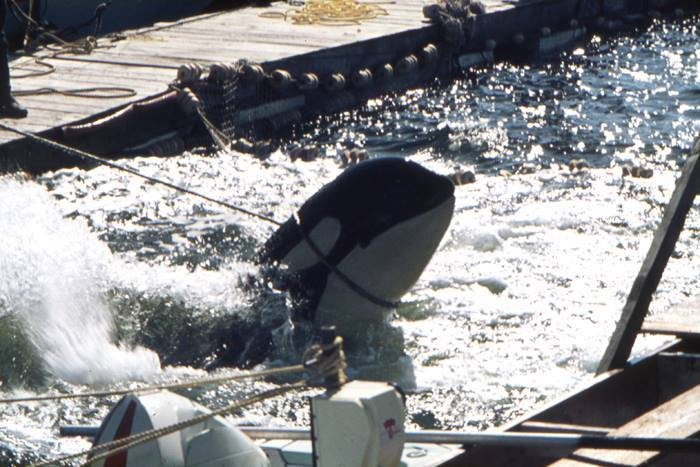 the captivity of orca whales should come to an end A 12,000-pound orca in captivity,  it should come as no surprise  whales have died at seaworldÕs san antonio park 11.